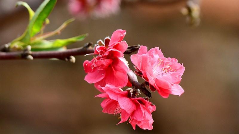 Hình nền hoa đào mùa xuân - 10 (Kích thước: 1920 x 1080)