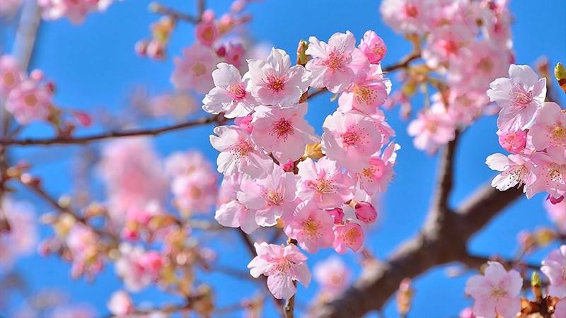 Hình nền hoa đào mùa xuân - 2 (Kích thước: 1920 x 1080)