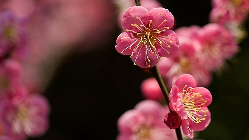 Hình nền hoa đào mùa xuân - 3 (Kích thước: 1920 x 1080)