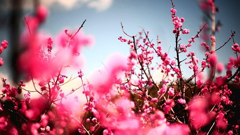 Hình nền hoa đào mùa xuân - 4 (Kích thước: 1920 x 1080)
