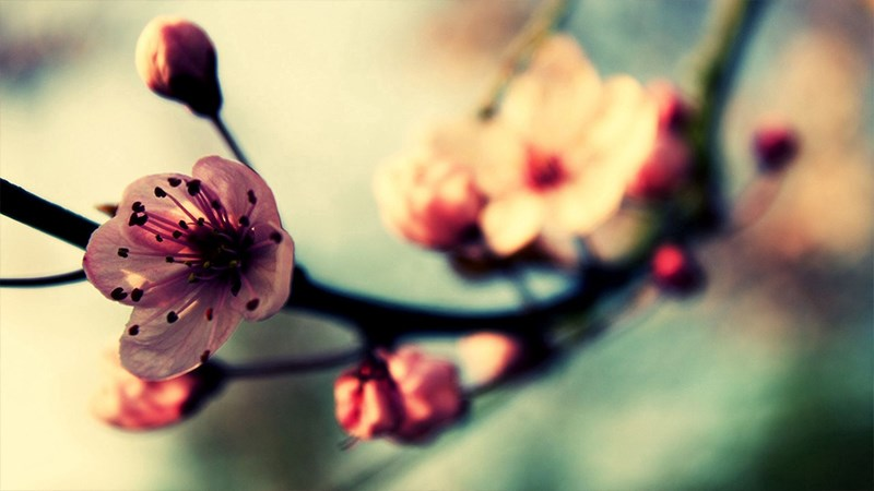 Hình nền hoa đào mùa xuân - 5 (Kích thước: 1920 x 1080)