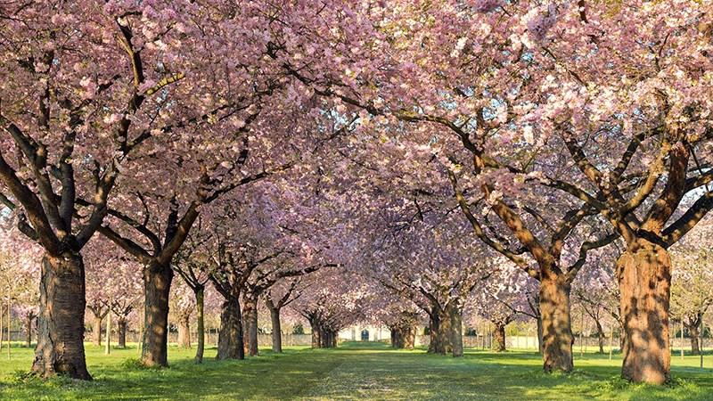 Hình nền hoa đào mùa xuân - 7 (Kích thước: 1920 x 1080)