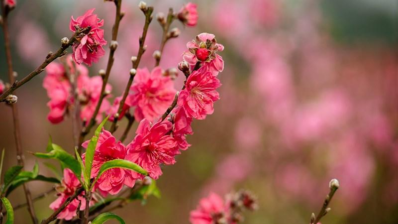 Hình nền hoa đào mùa xuân - 8 (Kích thước: 1920 x 1080)
