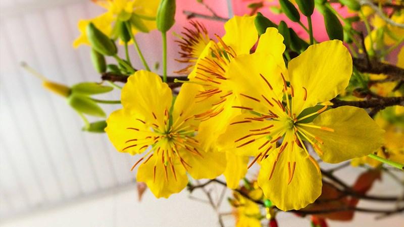 Hình nền hoa mai mùa xuân - 1 (Kích thước: 1920 x 1080)