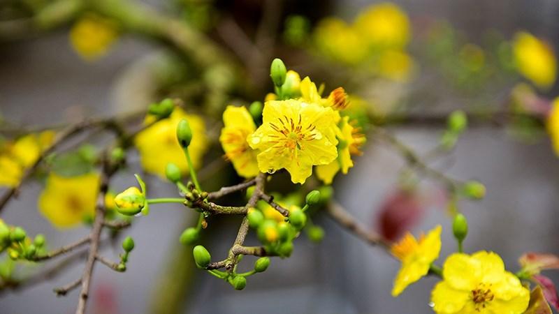 Hình nền hoa mai mùa xuân - 10 (Kích thước: 1920 x 1080)