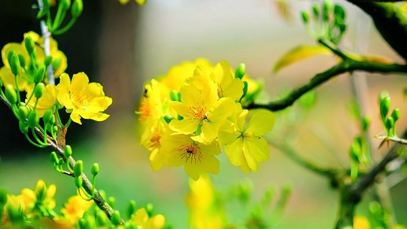 Hình nền hoa mai mùa xuân - 2 (Kích thước: 1920 x 1080)