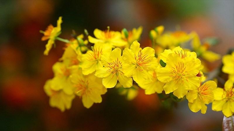 Hình nền hoa mai mùa xuân - 3 (Kích thước: 1920 x 1080)