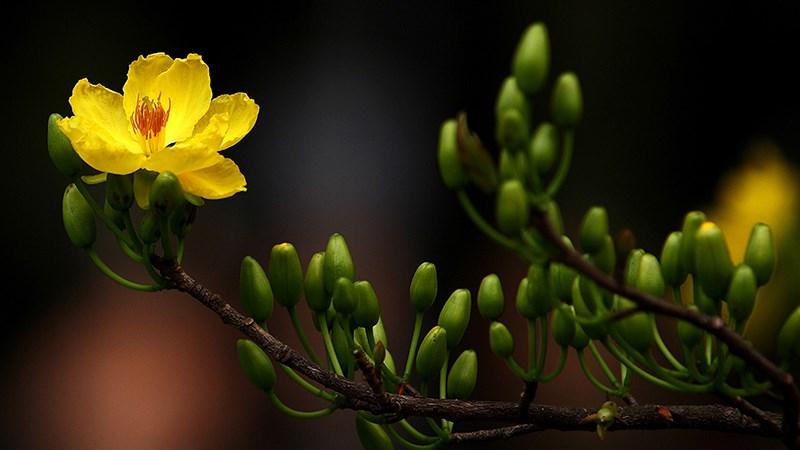 Hình nền hoa mai mùa xuân - 5 (Kích thước: 1920 x 1080)