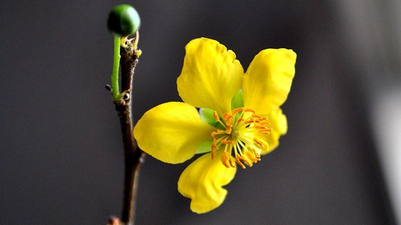 Hình nền hoa mai mùa xuân - 6 (Kích thước: 1920 x 1080)