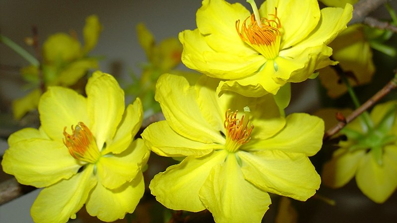 Hình nền hoa mai mùa xuân - 7 (Kích thước: 1920 x 1080)