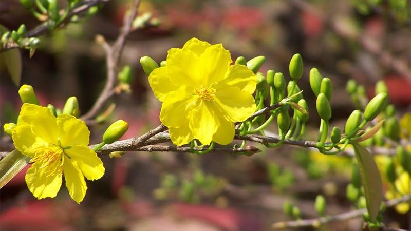 Hình nền hoa mai mùa xuân - 9 (Kích thước: 1920 x 1080)