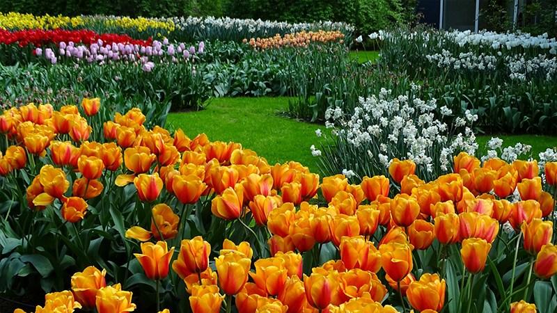 Hình nền vườn hoa tươi đẹp mùa xuân - 4 (Kích thước: 1920 x 1080)