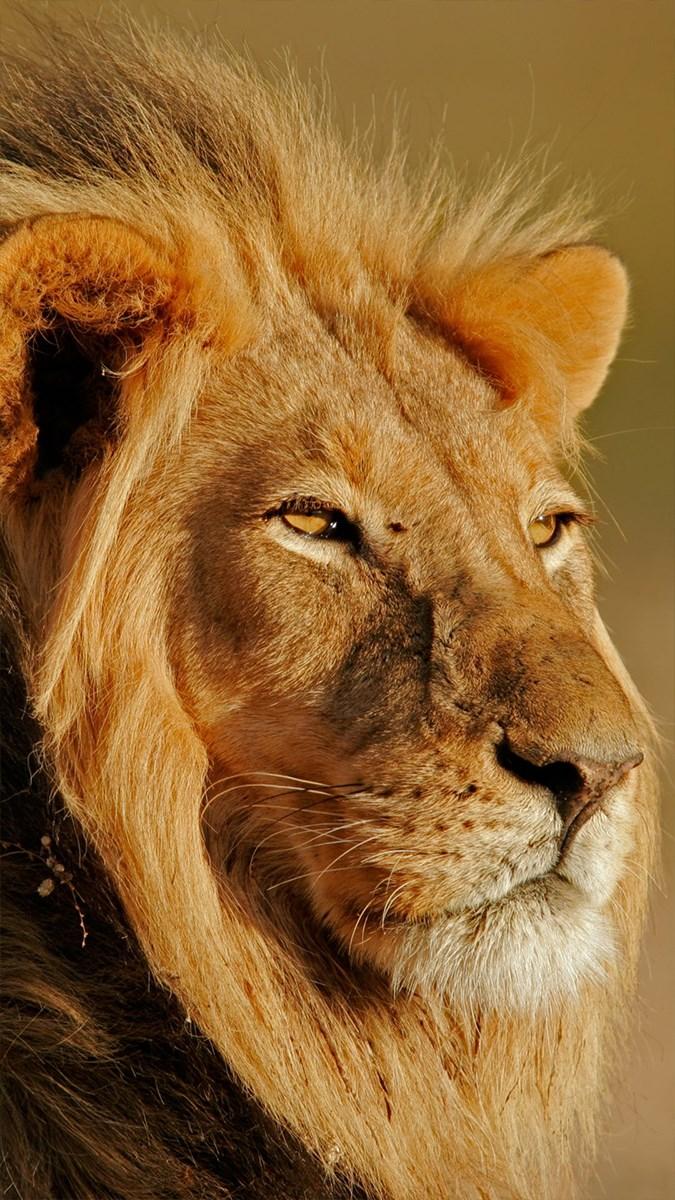 Ảnh sư tử - 1 (Kích thước: 1080 x 1920)