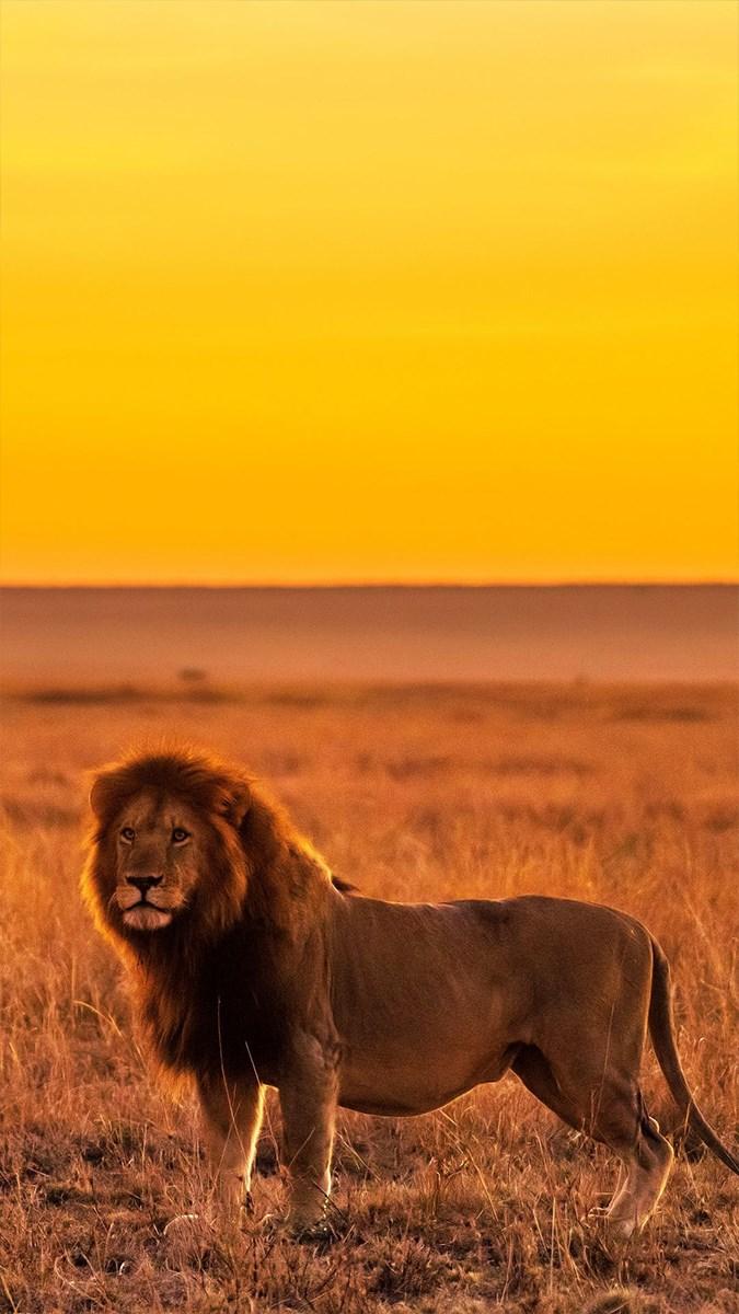 Ảnh sư tử - 10 (Kích thước: 1080 x 1920)