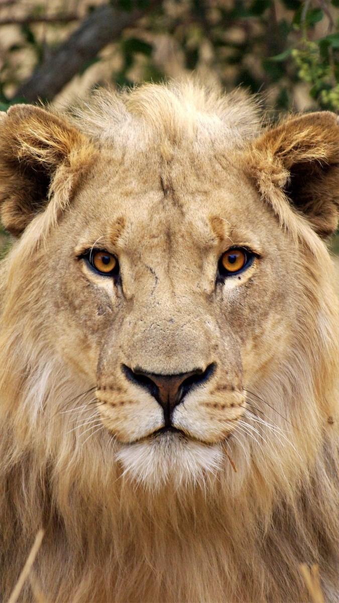 Ảnh sư tử - 11 (Kích thước: 1080 x 1920)