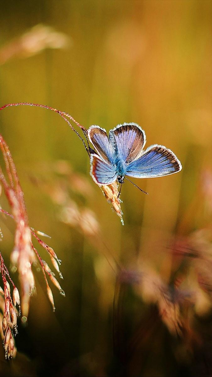 Hình nền bươm bướm - 11 (Kích thước: 1080 x 1920)