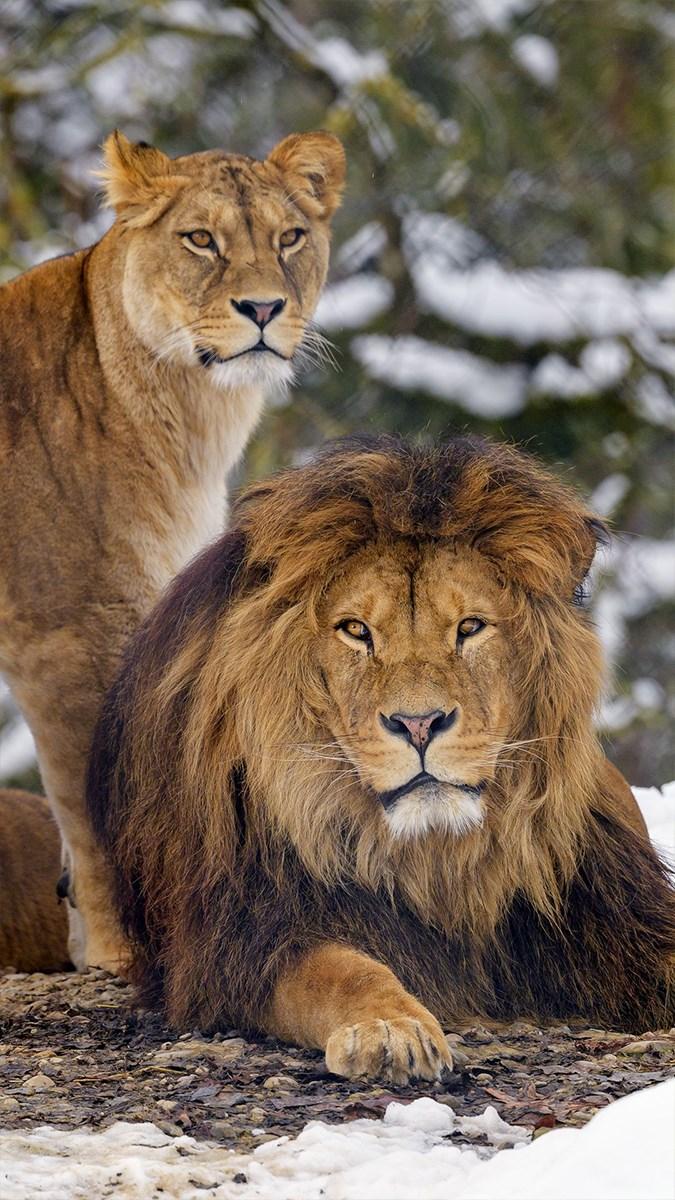 Ảnh sư tử - 12 (Kích thước: 1080 x 1920)
