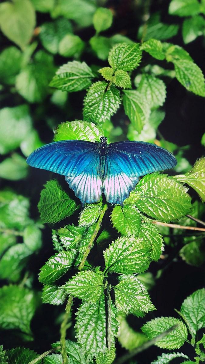 Hình nền bươm bướm - 12 (Kích thước: 1080 x 1920)