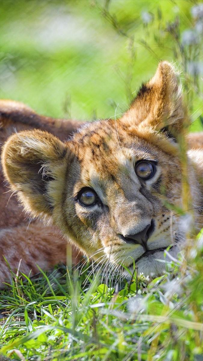 Ảnh sư tử - 13 (Kích thước: 1080 x 1920)