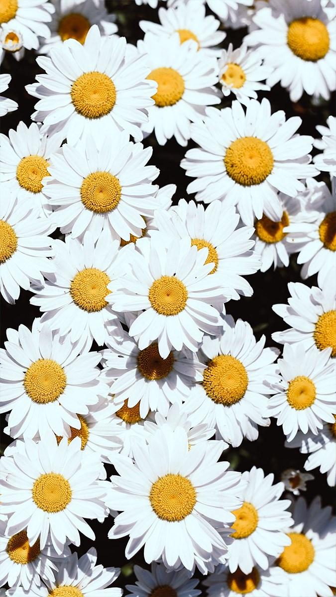 Hình nền hoa cho điện thoại - 13 (Kích thước: 1080 x 1920)