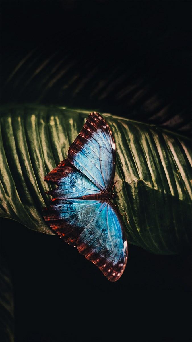 Hình nền bươm bướm - 13 (Kích thước: 1080 x 1920)