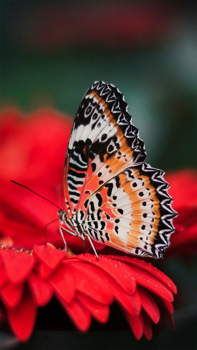 Hình nền bươm bướm - 14 (Kích thước: 1080 x 1920)