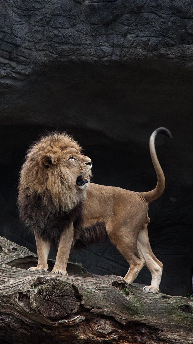 Ảnh sư tử - 17 (Kích thước: 1080 x 1920)