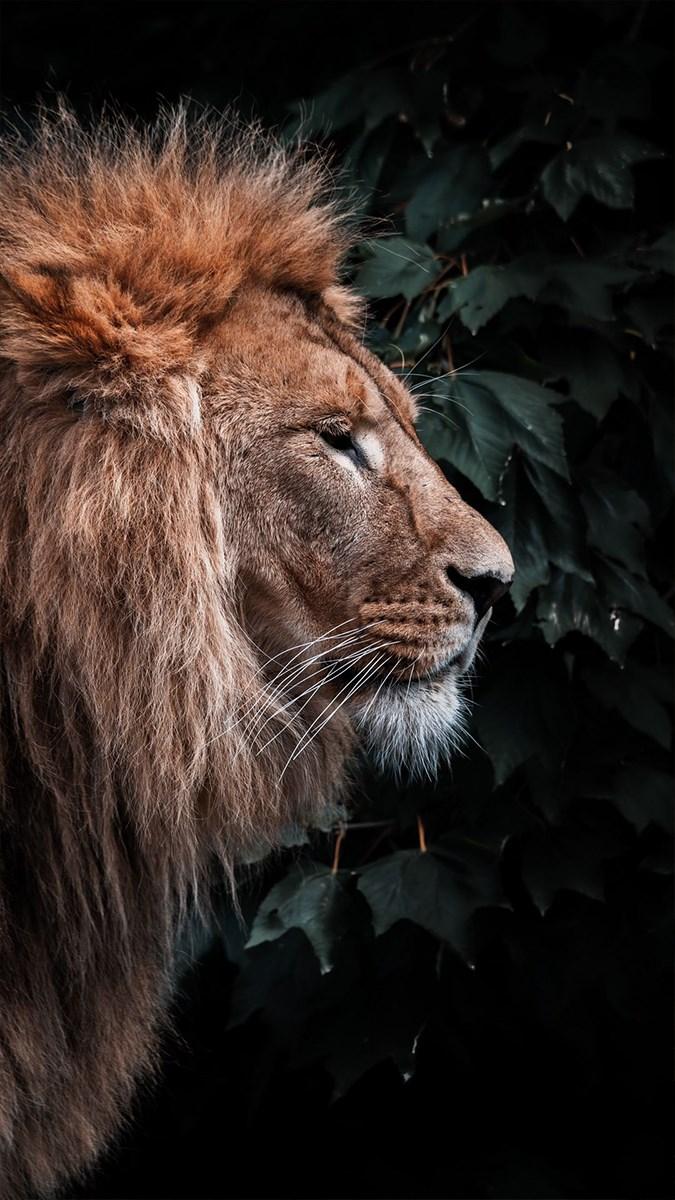 Ảnh sư tử - 18 (Kích thước: 1080 x 1920)