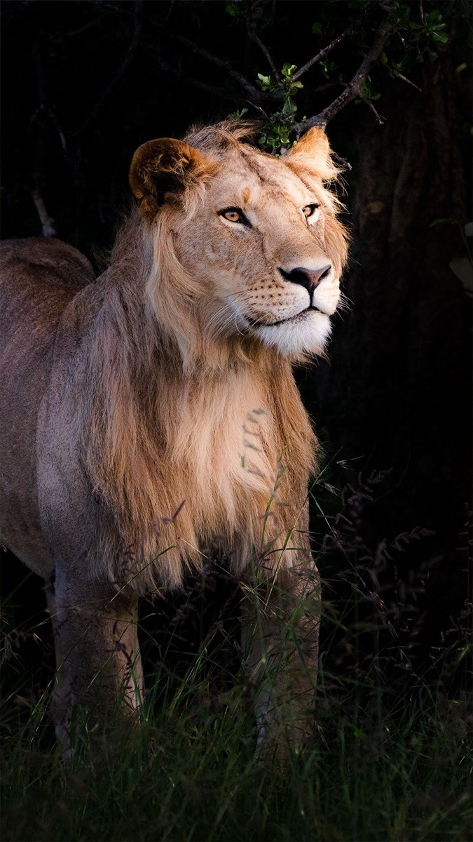 Ảnh sư tử - 19 (Kích thước: 1080 x 1920)