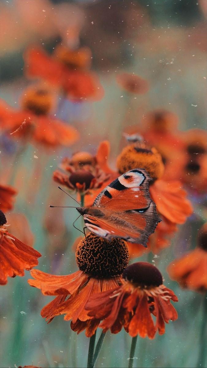 Hình nền bươm bướm - 19 (Kích thước: 1080 x 1920)
