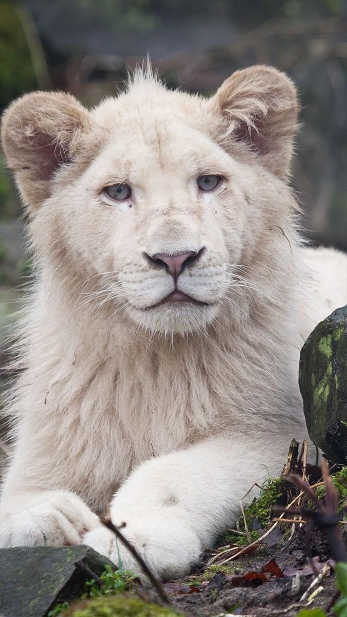 Ảnh sư tử - 2 (Kích thước: 1080 x 1920)