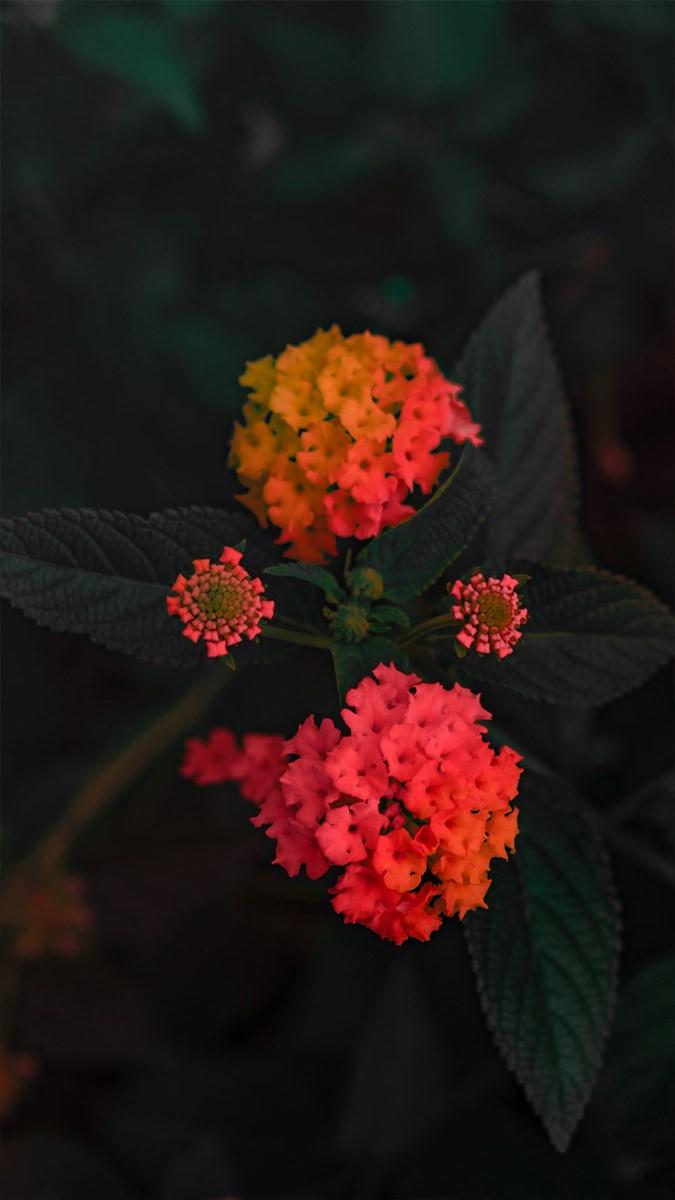 Hình nền hoa cho điện thoại - 2 (Kích thước: 1080 x 1920)