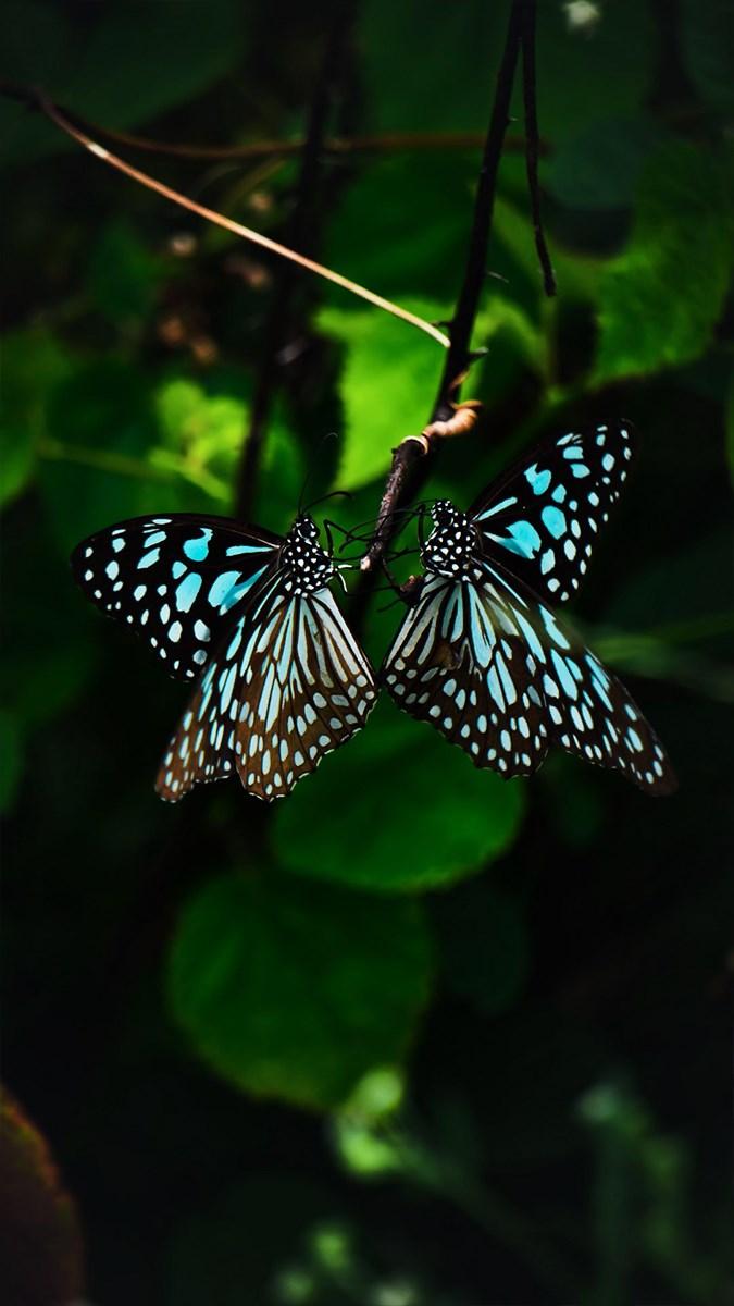 Hình nền bươm bướm - 2 (Kích thước: 1080 x 1920)