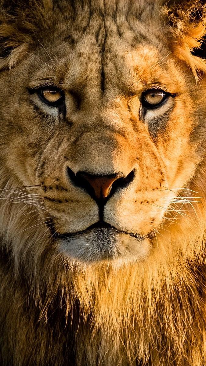 Ảnh sư tử - 3 (Kích thước: 1080 x 1920)