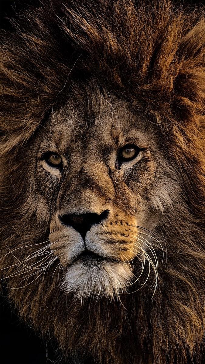 Ảnh sư tử - 4 (Kích thước: 1080 x 1920)