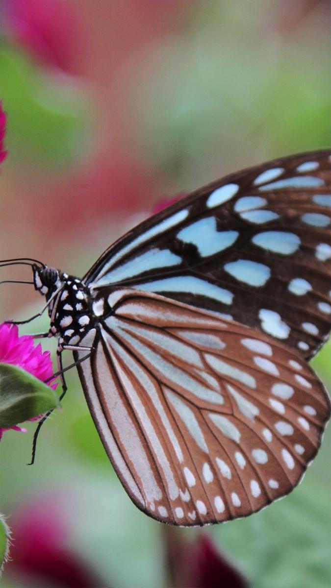 Hình nền bươm bướm - 4 (Kích thước: 1080 x 1920)