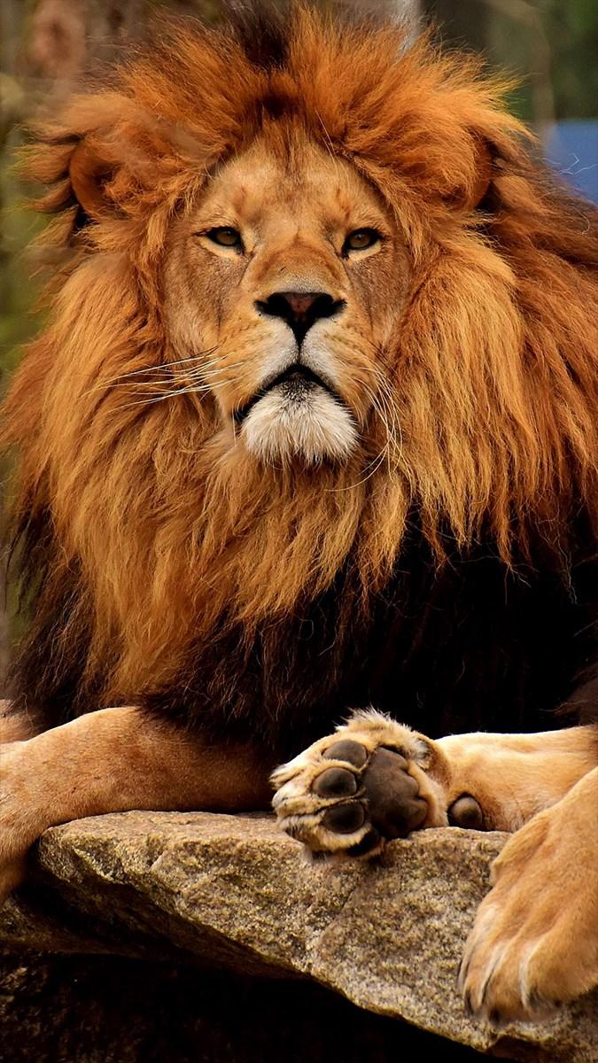 Ảnh sư tử - 5 (Kích thước: 1080 x 1920)