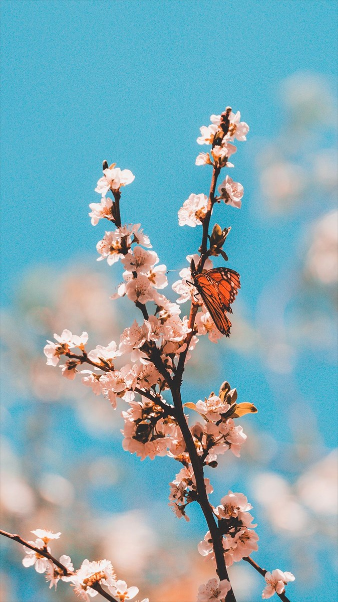 Hình nền bươm bướm - 5 (Kích thước: 1080 x 1920)