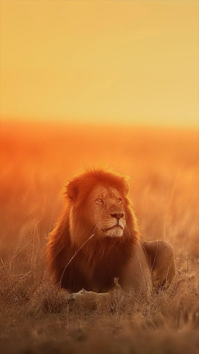 Ảnh sư tử - 6 (Kích thước: 1080 x 1920)
