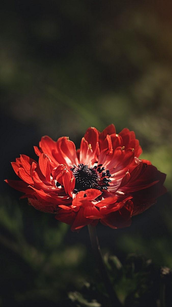 Hình nền hoa cho điện thoại - 6 (Kích thước: 1080 x 1920)