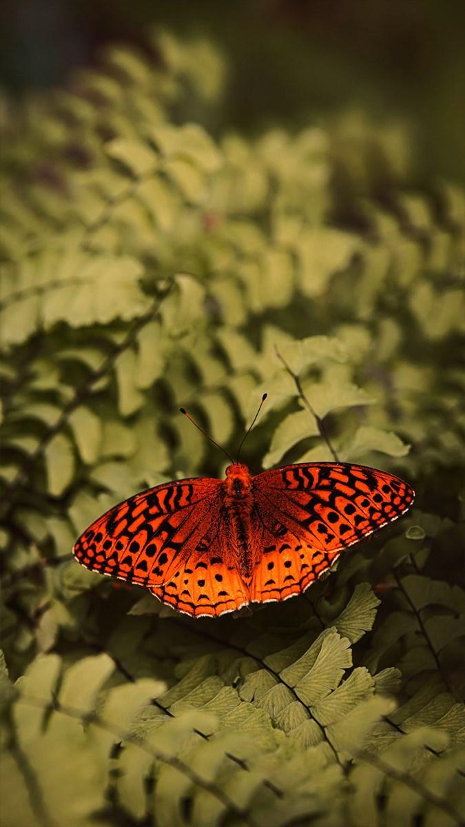 Hình nền bươm bướm - 7 (Kích thước: 1080 x 1920)
