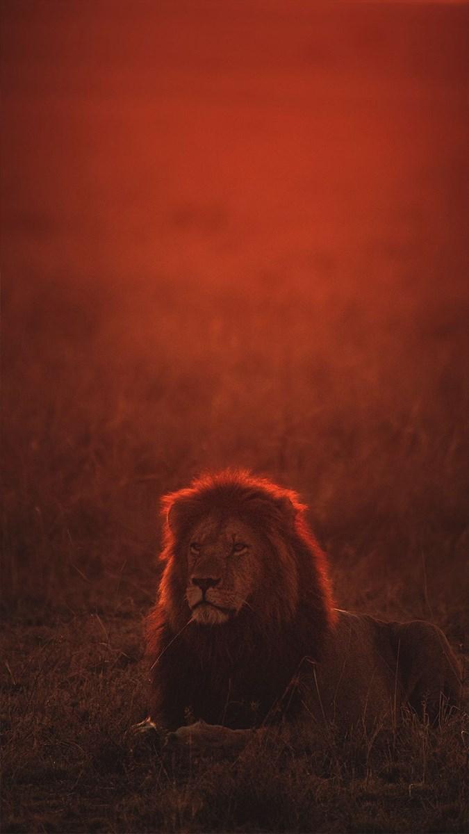 Ảnh sư tử - 8 (Kích thước: 1080 x 1920)
