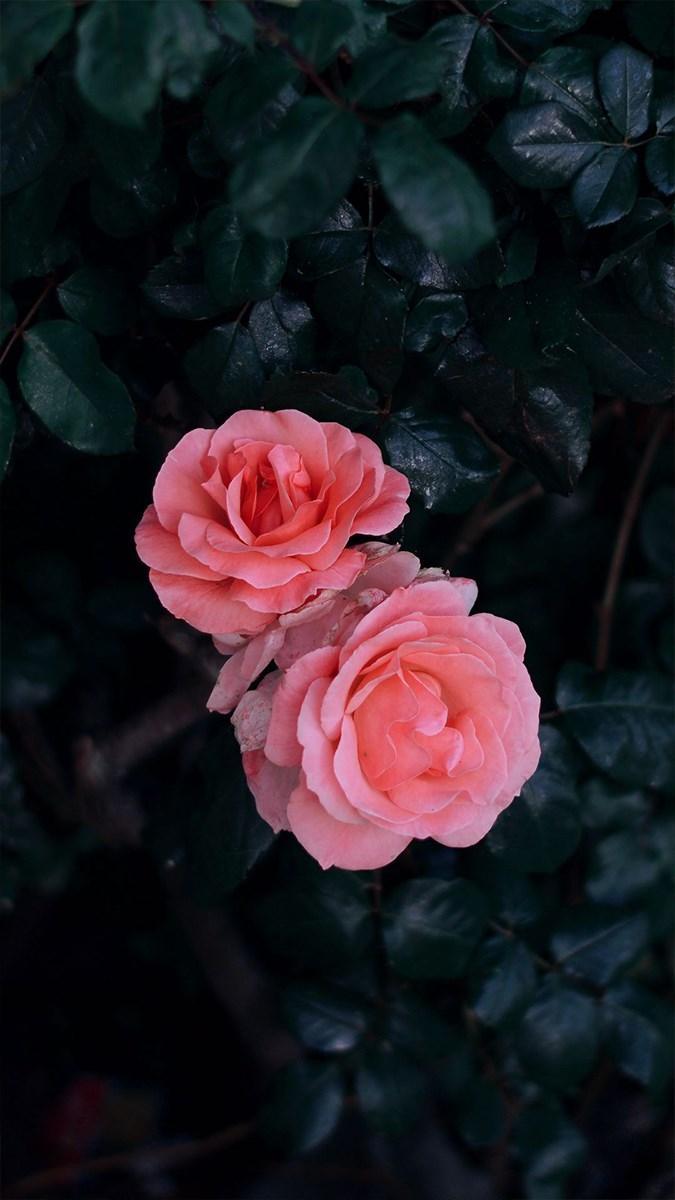 Hình nền hoa cho điện thoại - 8 (Kích thước: 1080 x 1920)