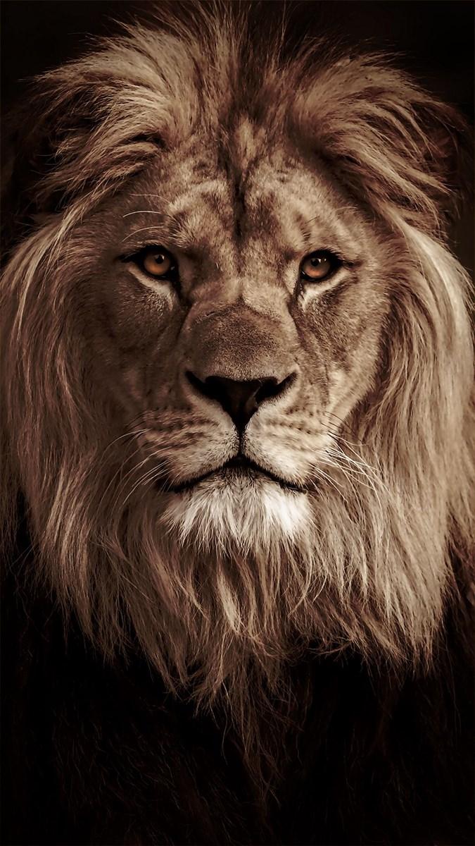 Ảnh sư tử - 9 (Kích thước: 1080 x 1920)