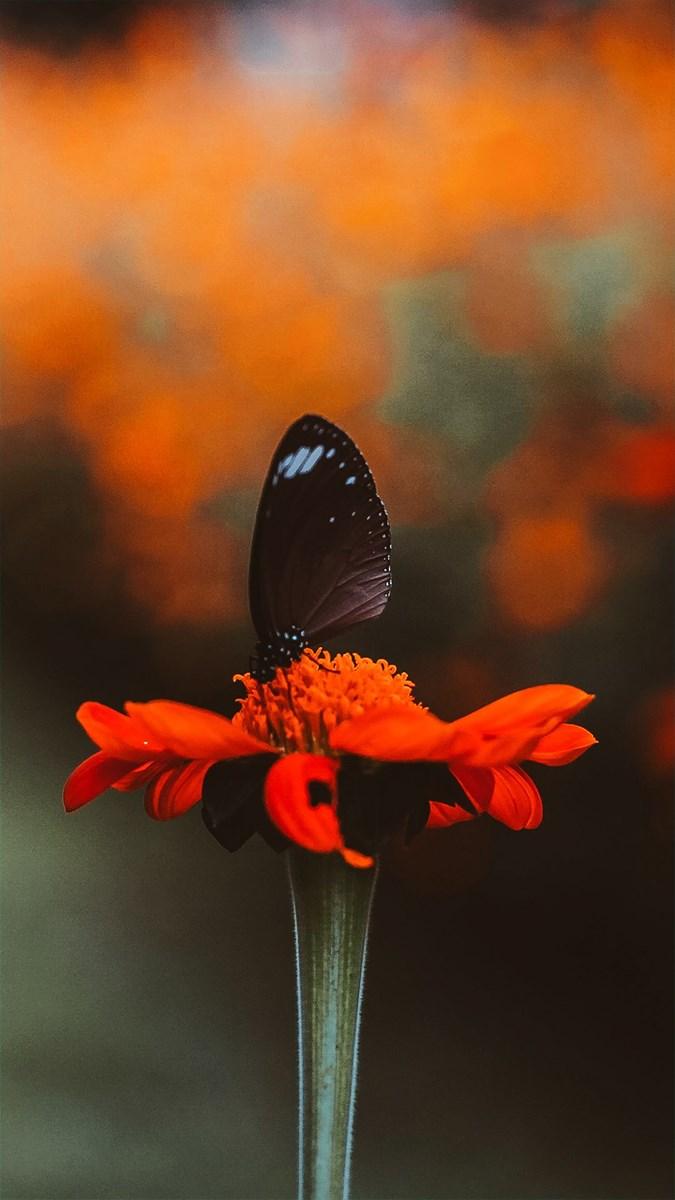 Hình nền bươm bướm - 9 (Kích thước: 1080 x 1920)
