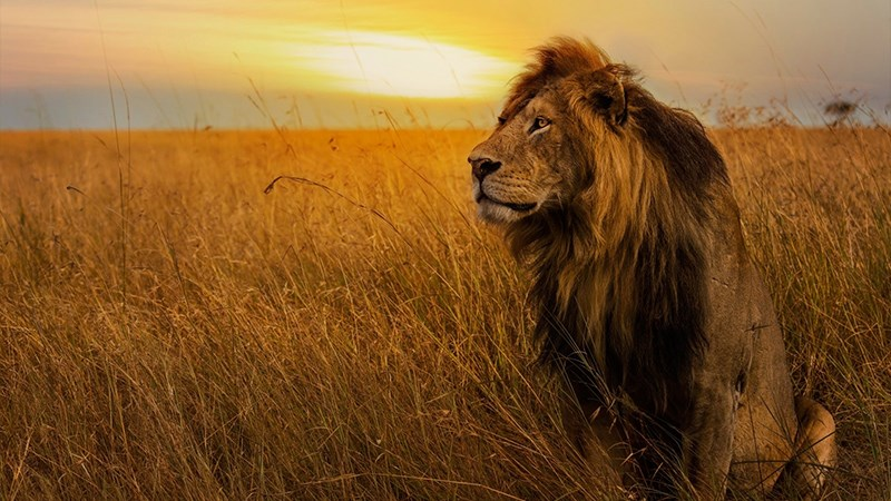 Ảnh sư tử - 1 (Kích thước: 1920 x 1080)
