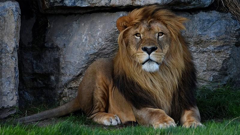 Ảnh sư tử - 10 (Kích thước: 1920 x 1080)