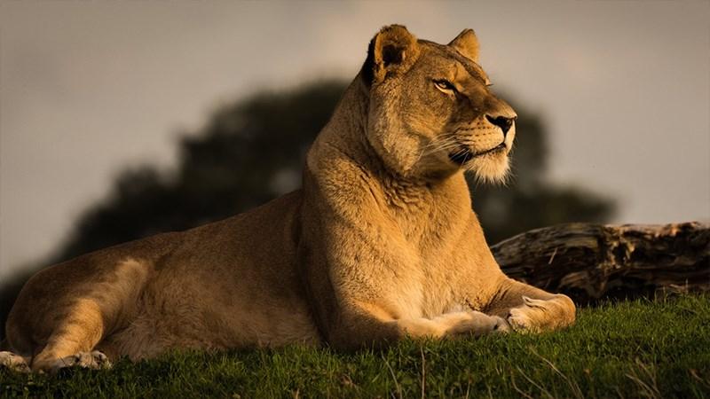 Ảnh sư tử - 11 (Kích thước: 1920 x 1080)