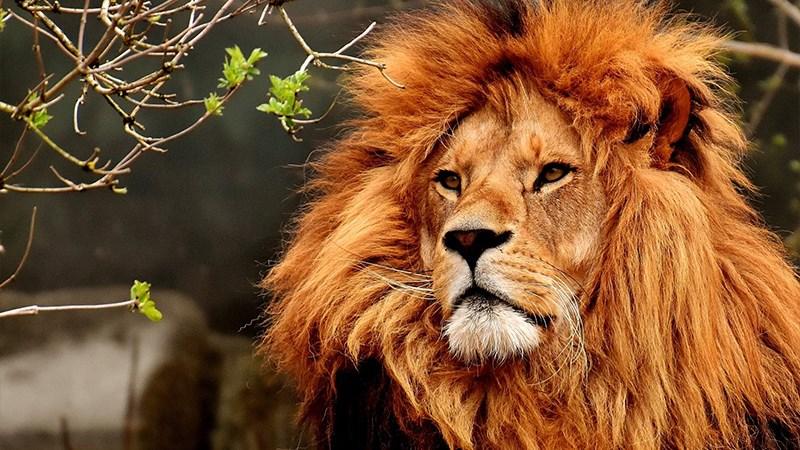Ảnh sư tử - 12 (Kích thước: 1920 x 1080)
