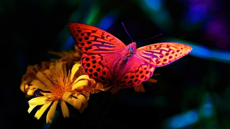 Hình nền bươm bướm - 12 (Kích thước: 1920 x 1080)